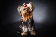 Yorkshire-Terrier Portrait Stockfoto