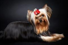 Yorkshire-Terrier Portrait Lizenzfreie Stockbilder