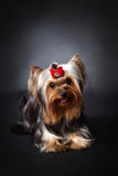 Yorkshire-Terrier Portrait Stockbilder