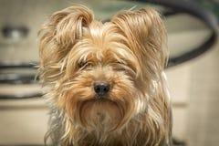 Yorkshire-Terrier Portrait stockfoto