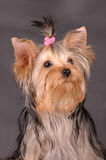 Yorkshire terrier portrait Royalty Free Stock Image