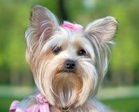 Yorkshire Terrier portrait close-up Stock Photo