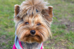 Yorkshire Terrier portrait close-up on green grass.  Stock Images