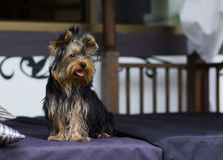 Yorkshire Terrier. Portrait of a cute Yorkshire Terrier Royalty Free Stock Image
