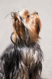 Yorkshire terrier portrait Stock Photography
