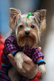 Yorkshire terrier. Portrait of a dressed Yorkshire terrier on male hands with raindrops on his face, outdoors Stock Images