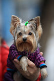 Yorkshire terrier. Portrait of a dressed Yorkshire terrier on male hands with raindrops on his face, outdoors Stock Photo
