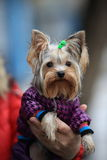 Yorkshire terrier. Portrait of a dressed Yorkshire terrier on male hands with raindrops on his face, outdoors Royalty Free Stock Image