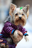 Yorkshire terrier. Portrait of a dressed Yorkshire terrier on male hands with raindrops on his face, outdoors Royalty Free Stock Photos