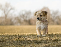 Yorkshire Terrier Portrait on a Hill. A portrait of a Yorkshire Terrier puppy standing in the grass on a hill Royalty Free Stock Images