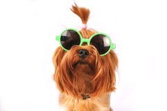 Yorkshire terrier portrait isolated on white Royalty Free Stock Photos