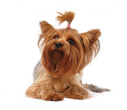 Yorkshire terrier portrait isolated on white Royalty Free Stock Image
