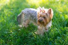 Yorkshire Terrier portrait Stock Photos