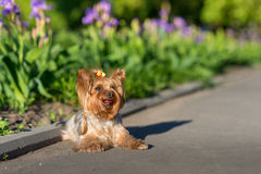 Yorkshire Terrier portrait Royalty Free Stock Photography