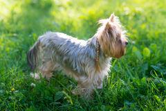 Yorkshire Terrier portrait Stock Photo