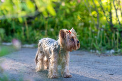 Yorkshire Terrier portrait Stock Images