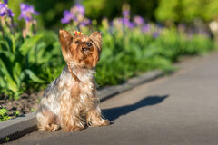 Yorkshire Terrier portrait Royalty Free Stock Photo