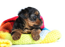 Yorkshire terrier portrait puppy profile Stock Photography