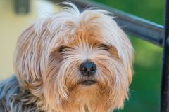 Yorkshire terrier portrait - Pure breed.  royalty free stock images