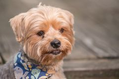 Yorkshire terrier portrait - Pure breed - large individual.  royalty free stock photos