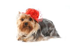 Yorkshire terrier portrait in red hat Stock Photo