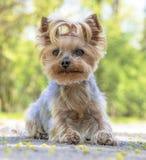 Yorkshire Terrier portrait in spring time park Stock Image