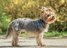 Yorkshire Terrier portrait in spring time park Stock Image