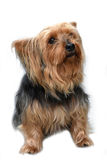 Yorkshire terrier. Portrait of a sweet little yorkshire terrier Stock Photo