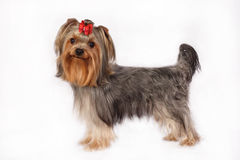 Yorkshire Terrier Portrait on white background. Royalty Free Stock Photography