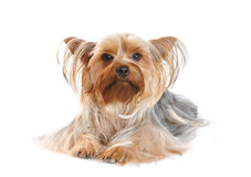 Yorkshire terrier portrait on white background Royalty Free Stock Photos