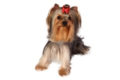 Yorkshire Terrier Portrait on white background. Stock Images