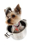Yorkshire terrier in the pot Royalty Free Stock Photography