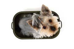 Yorkshire terrier in the pot Stock Photography