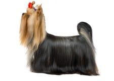 Yorkshire terrier preparado foto de stock