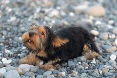 Yorkshire terrier preto e marrom pequeno em seixos de um mar do fundo na praia Fotos de Stock Royalty Free