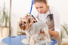 Yorkshire terrier in the process of grooming Royalty Free Stock Photo