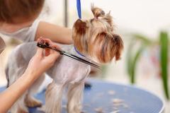 Yorkshire terrier in the process of grooming Royalty Free Stock Photos