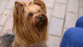 Yorkshire Terrier psa kaganiec Szczeniak Patrzeje up zbiory wideo