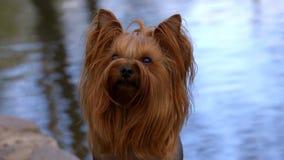 Yorkshire Terrier psa obsiadanie blisko jeziora zdjęcie wideo