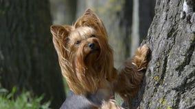 Yorkshire Terrier psa stojaki blisko drzewa zbiory