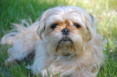Yorkshire Terrier and Pug mix Royalty Free Stock Photography