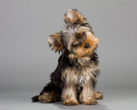 Yorkshire Terrier puppie. Sitting on a gray background. Not isolated Stock Images