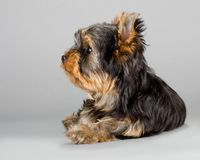 Yorkshire Terrier puppie Royalty Free Stock Image