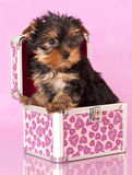 Yorkshire Terrier puppie. Sits in a pink trunk Royalty Free Stock Images