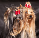 Yorkshire Terrier puppie. Yorkshire Terrier portrait of a close-up Royalty Free Stock Images