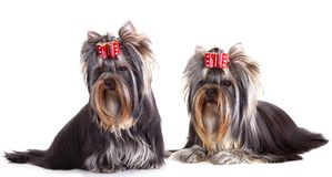 Yorkshire Terrier puppie Royalty Free Stock Photo