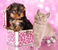 Yorkshire Terrier puppie. And british  kitten, cat and dog Stock Photography