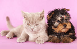Yorkshire Terrier puppie and cat. Yorkshire Terrier puppie  sitting on a white background Stock Photography