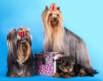 Yorkshire Terrier puppie and dog Royalty Free Stock Images