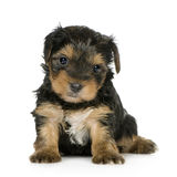 Yorkshire Terrier Puppies (1 month) Royalty Free Stock Photography